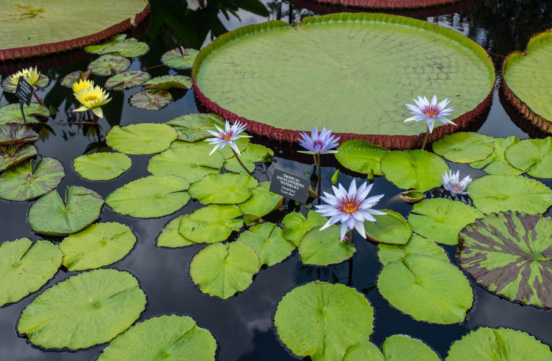 Longwood Gardens waterlilies