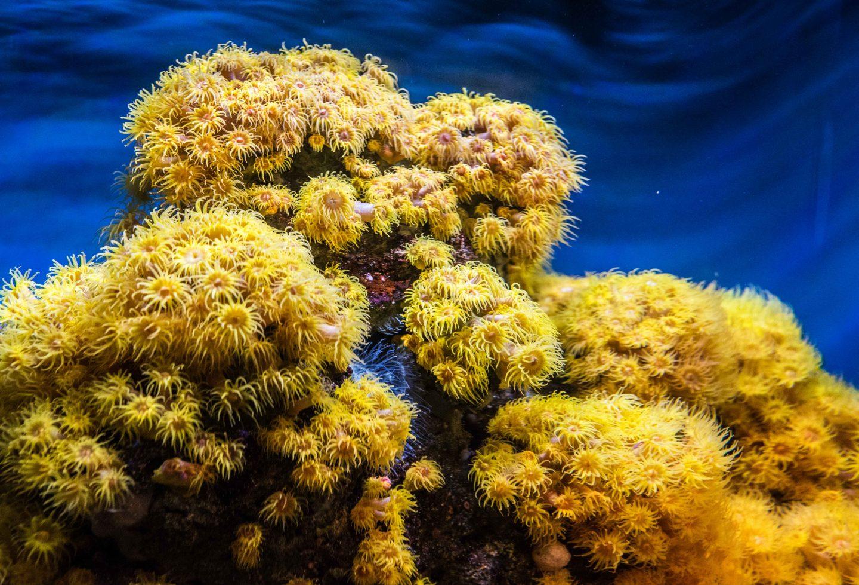 georgia aquarium coral